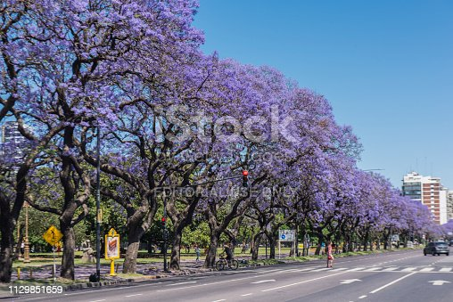 People crossing Figueroa Alcorta Avenue during jacarandas blossom at Buenos Aires, Argentina. Since middle until the end of November the city shows purple color everywhere thanks to the blossom of the jacarandas, given to the city an unique beauty.