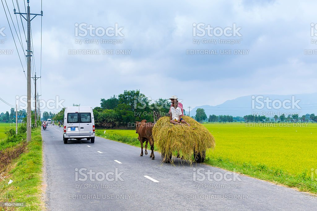 people drives a cow cart loaded with bunches of hay stock photo