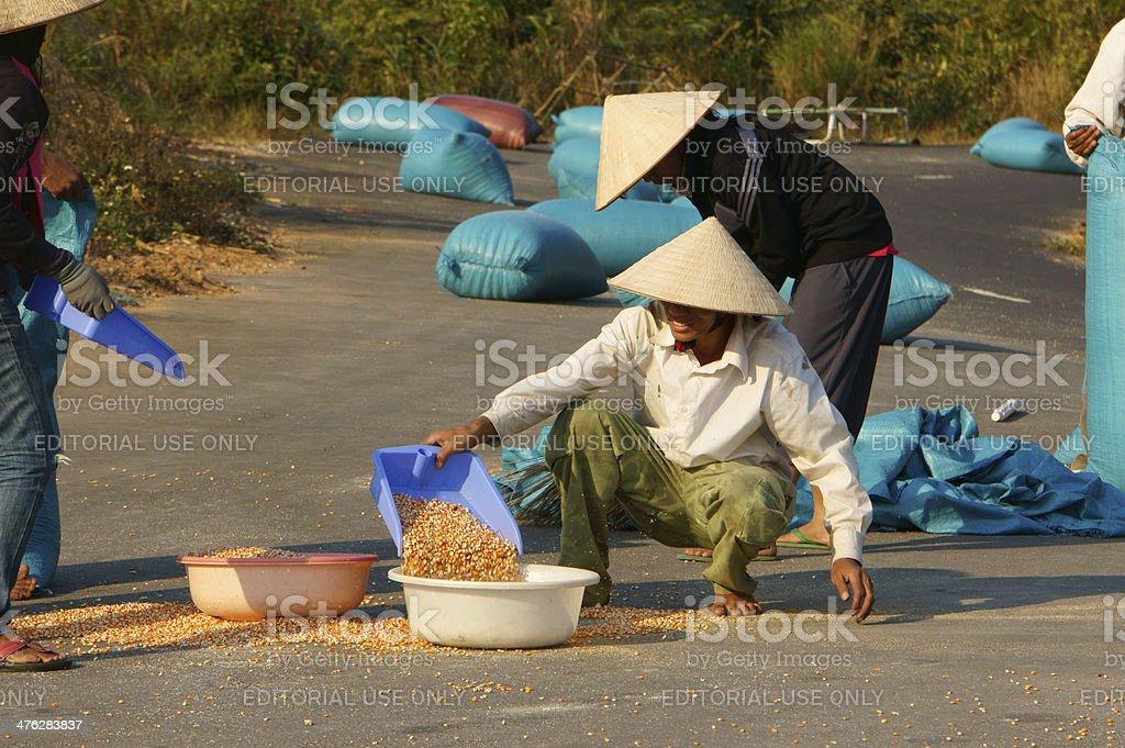 People dry corn of good crop stock photo