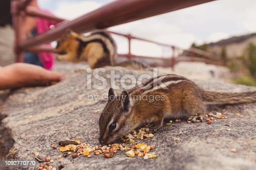 Chubby Eating Animal Chipmunk Cheeks