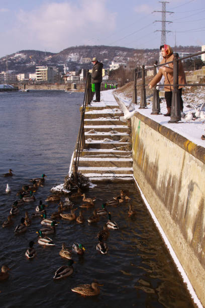 People feeding ducks on Somes river in Cluj city stock photo