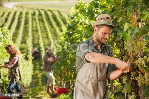 540524550 istock photo People harvesting grapes 612637590