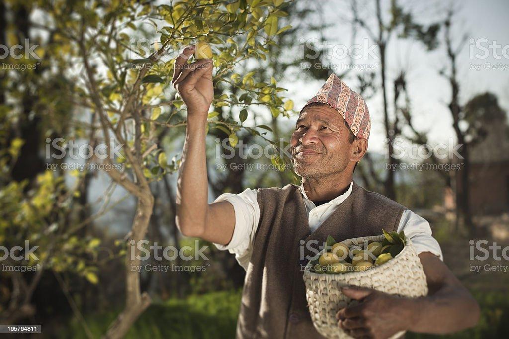 People of Nepal: Happy farmer collecting fresh lemon. royalty-free stock photo