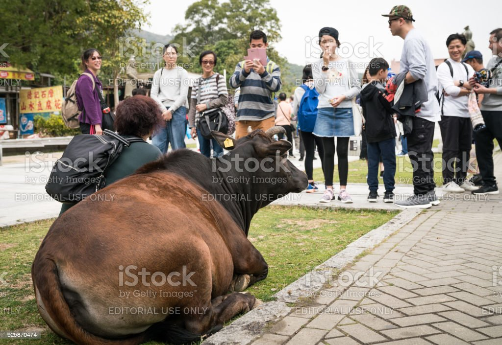 People Photograph Cow in Ngong Ping stock photo