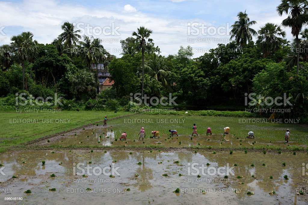 People planting rice seedlings in the rice paddy, royalty-free stock photo