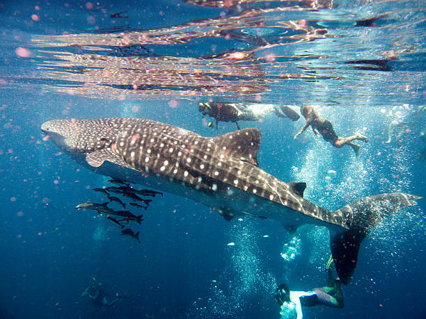 People Swimming With Endangered Species Whale Shark (Rhincodon types) Andaman Sea, Thailand - April 19, 2015: This stunning Whale Shark (Rhincodon typus) image was captured at Koh Haa islands in the Andaman Sea, Krabi, Thailand.  Numerous Cobia (Rachycentron canadum) aka Wahoo, can be seen swimming around the Whale Shark.  Numerous incidental unrecognizable people are swimming together with the whale Shark.  Whale sharks are an endangered species according to the IUCN red list and now protected in many places. whale shark stock pictures, royalty-free photos & images