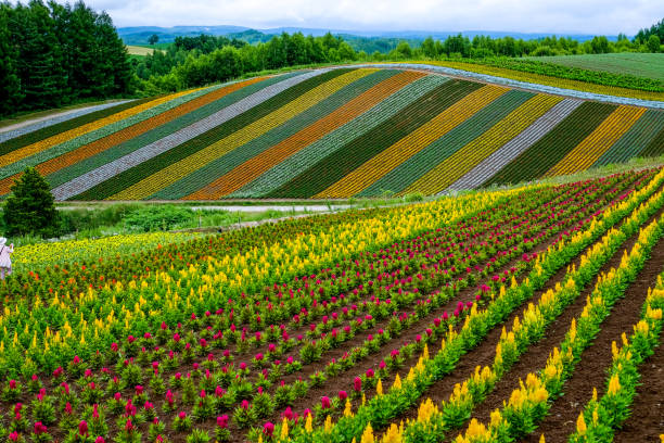 people taking photo rainbow colorful flower fields in biei, hokkaido, japan - sapporo stock photos and pictures