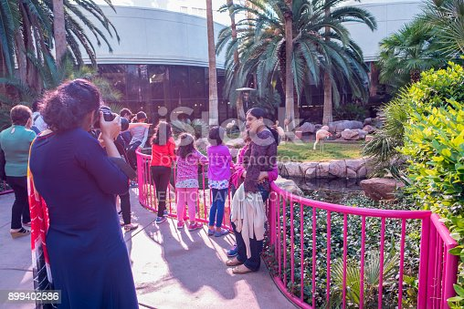 Las Vegas, Nevada, November 23, 2017: Sunlight floods the scene as tourists take a photo in front of the flamingos that live at the Flamingo hotel and casino, a famous landmark hotel in Las Vegas.