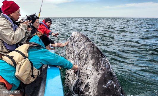 Three women are touching a Gray Whale calf, who is surfacing very close to the boat used by them during a whale watching expedition in the waters of San Ignacio Lagoon, Baja California Sur, Mexico, while another woman is going to photograph the scene.