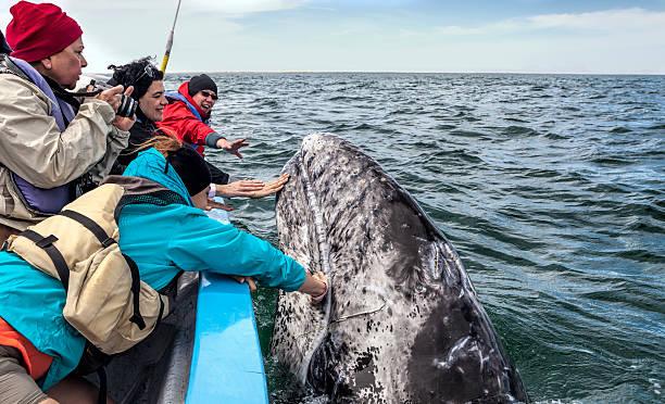 personas touching de una ballena - mamífero fotografías e imágenes de stock
