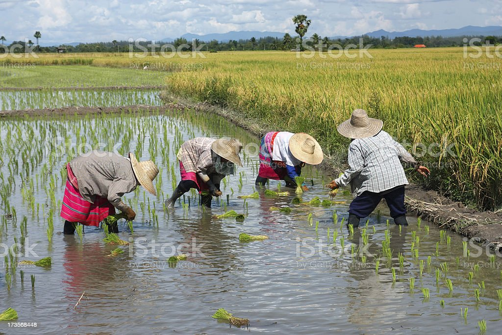 People transplanting rice on a nice day - Royalty-free Agriculture Stock Photo