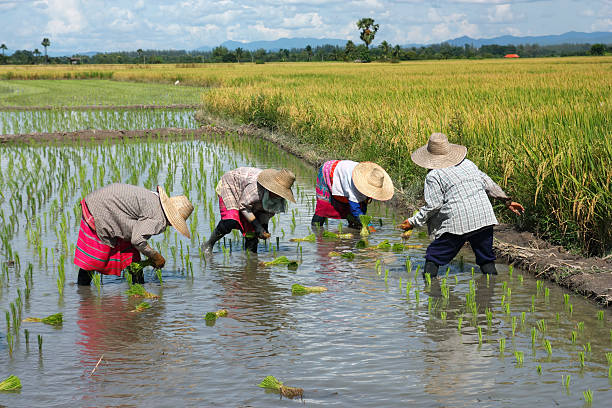 People transplanting rice on a nice day stock photo