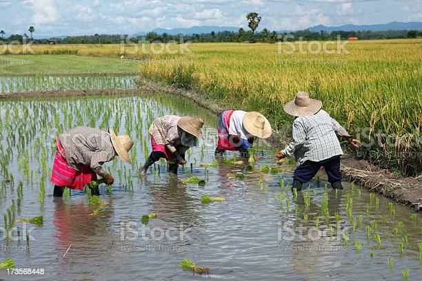 People Transplanting Rice On A Nice Day Stock Photo - Download Image Now