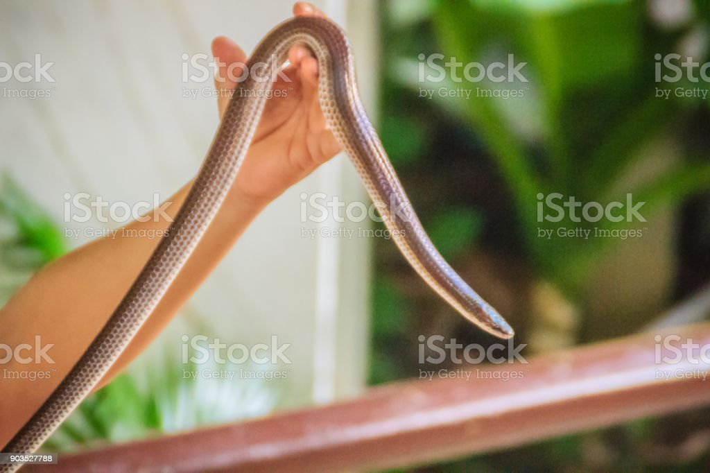 People use bare hand catch the Xenopeltis unicolor, a non-venomous sunbeam snake species found in Southeast Asia and some regions of Indonesia. stock photo