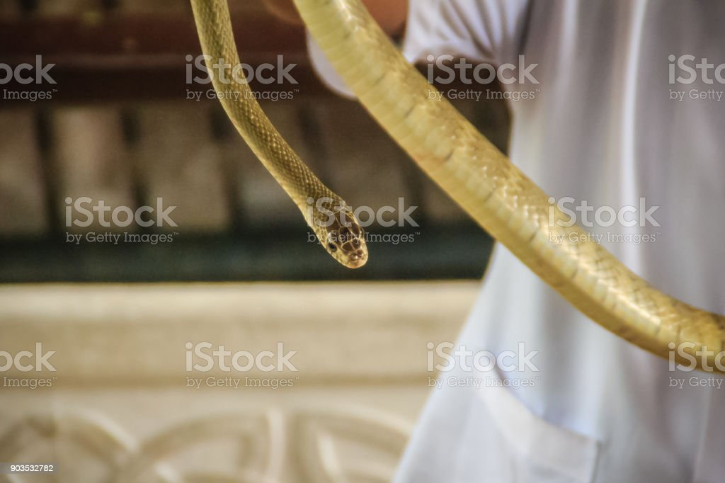 People use bare hand to catch Indochinese rat snake (Ptyas korros). Chinese ratsnake or Indo-Chinese rat snake, is a species of colubrid snake endemic to Southeast Asia. stock photo