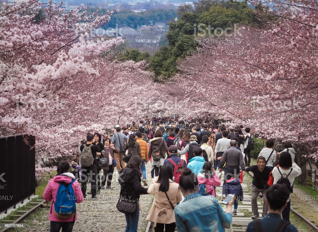 People walking along the tracks of a disused railway under beautiful cherry blossom trees. stock photo