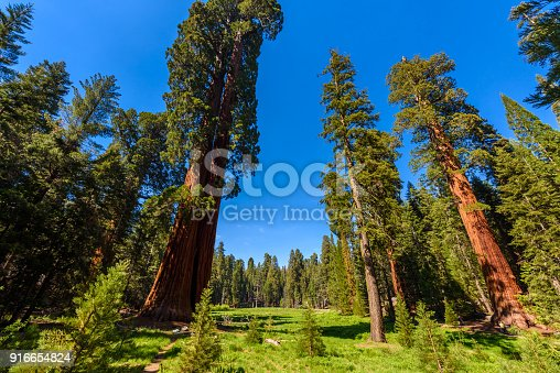 People walking on the Big Trees Trail in Sequoia National Park where are the biggest trees of the world, California. USA.