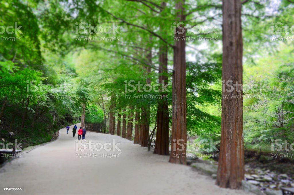 People walking the metasequoia road royalty-free stock photo