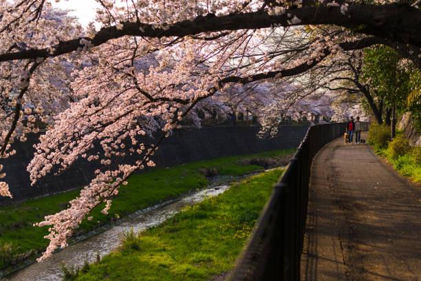 Menschen mit Hund spazieren und genießen Sie Sakura Cherry Blossom in tachikawa – Foto