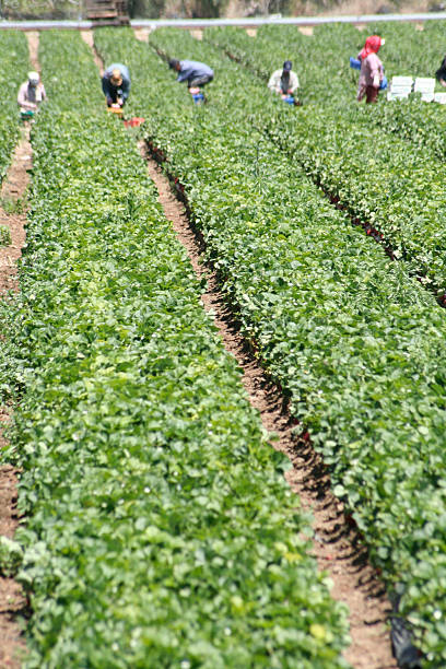 People working on a field harvesting plants Workers out of focus in a long row of plants. Focus intentionally in the middle of the view to throw the workers out of focus to keep them anonymous.  migrant worker stock pictures, royalty-free photos & images