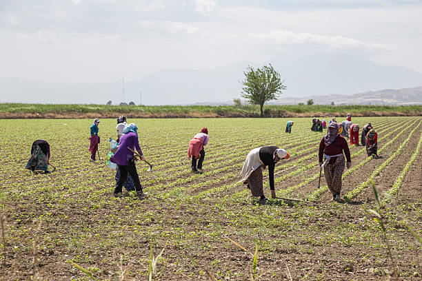 People working on a field in Anataolia, Turkey. Manisa, Turkey - May 24, 2013: People working on a field in Mugla city of Anataolia inTurkey. anatolia stock pictures, royalty-free photos & images