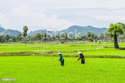 istock Peoples are working in the rice field 493604710