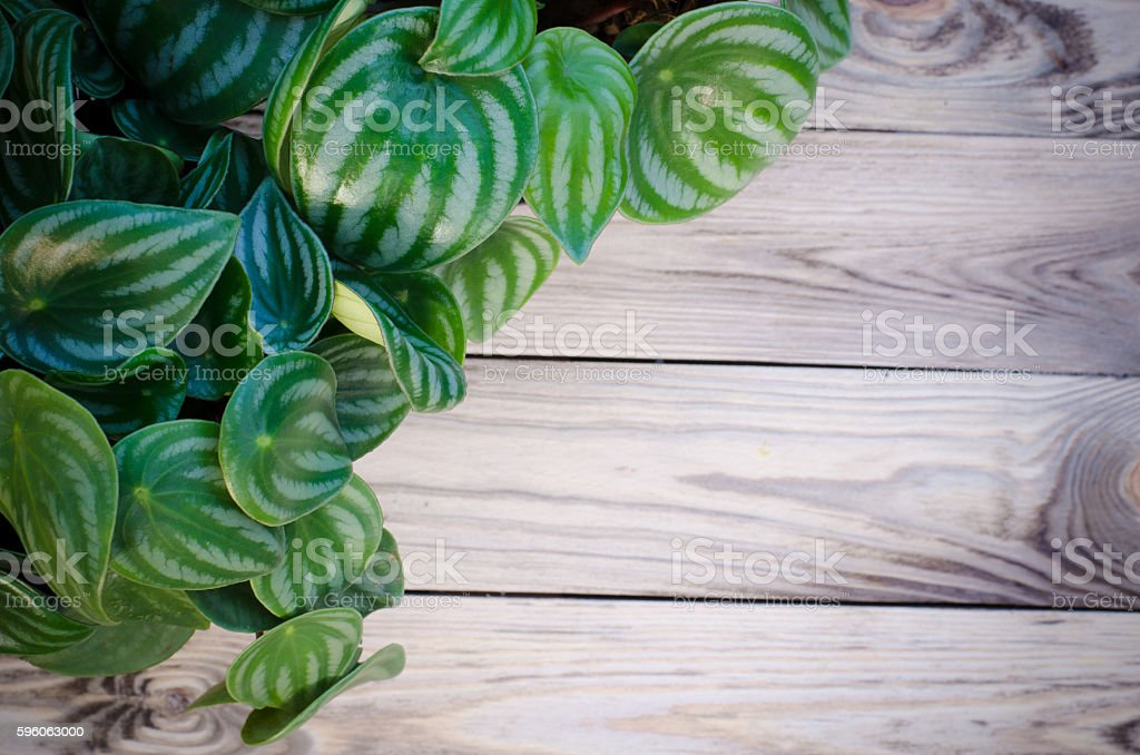 Peperomia  on wooden background royalty-free stock photo