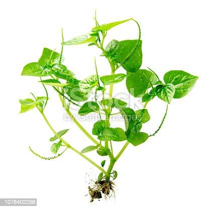 538450883istockphoto Peperomia Pellucida plant 1078402258