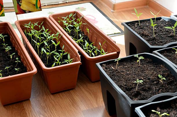 Pimienta y tomate plantas de semillero en recipientes en el plano de las plantas más altas del hotel, primer plano - foto de stock
