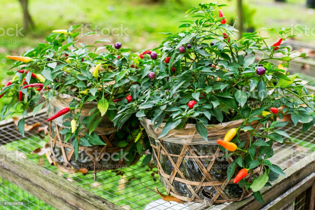 Pepper Bolivian Rainbow stock photo