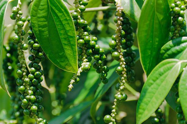 Pepper bush, Piper Nigrum stock photo
