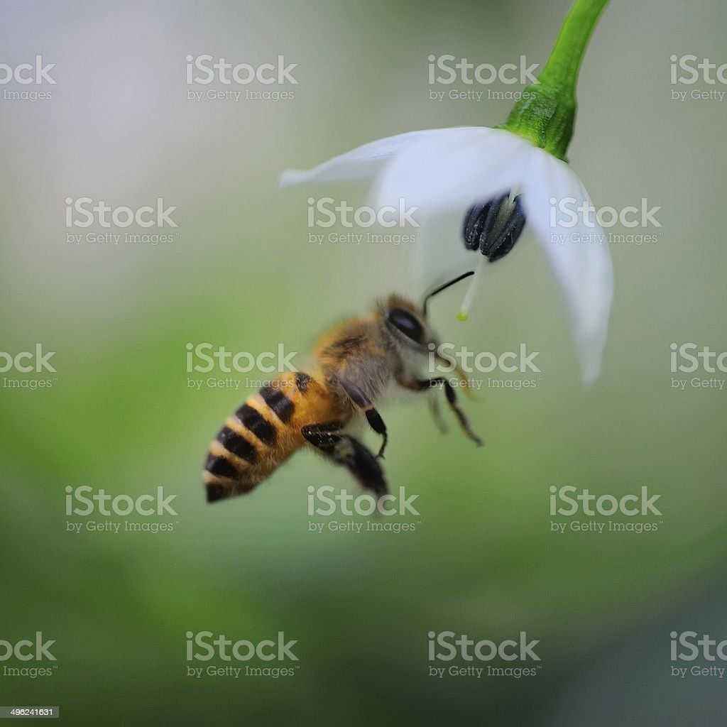 Pepper flowers and bee 06 stock photo