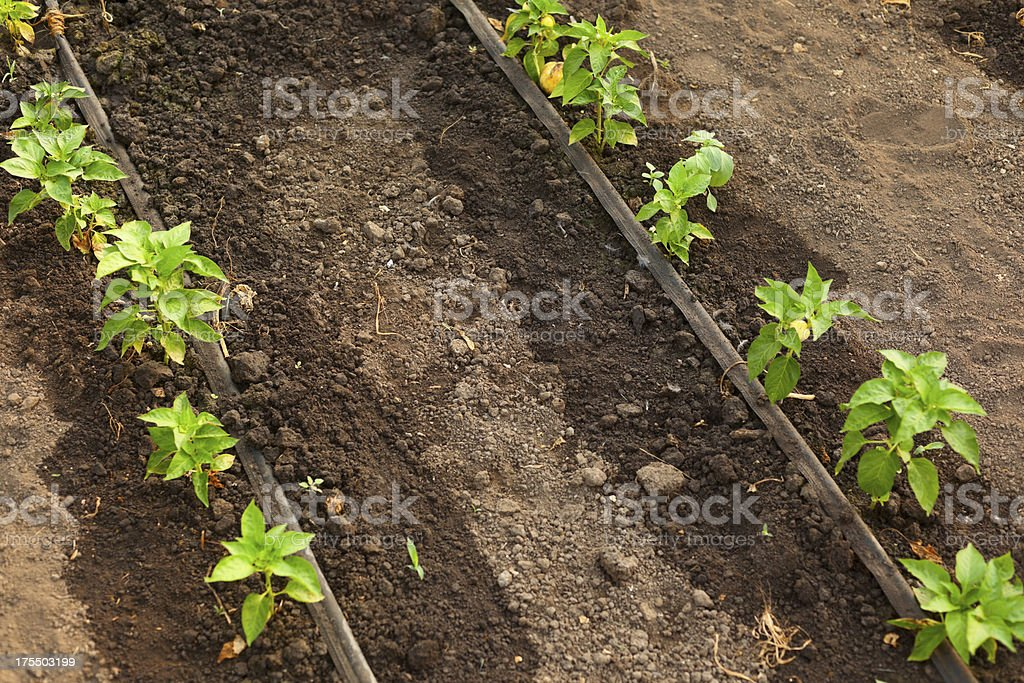 Pepper growing in greenhouse. stock photo