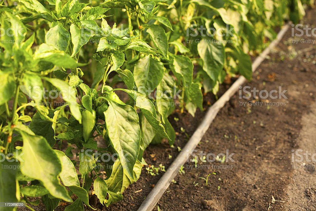 Pepper in greenhouse stock photo