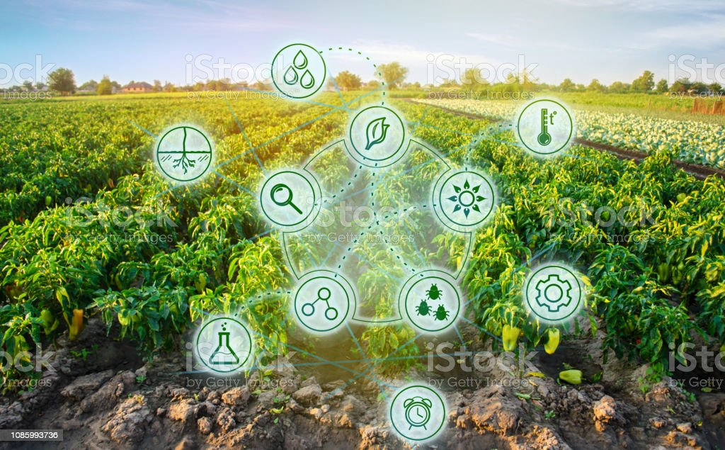 Pepper in the field. Scientific work and development of new methods...