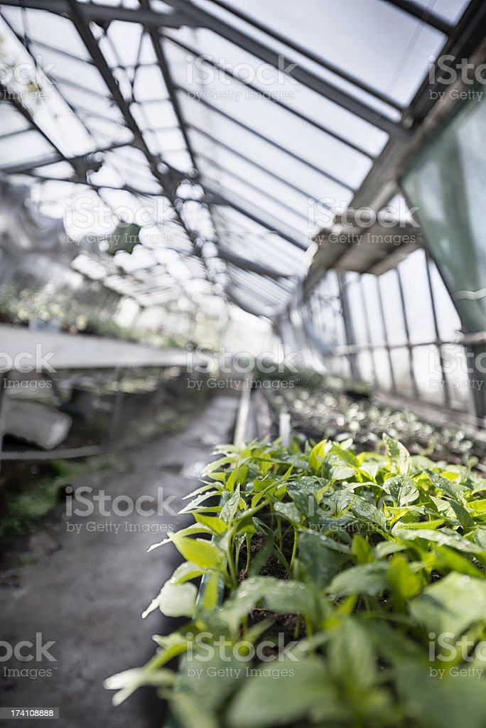 Pepper Plant Growing in a Greenhouse royalty-free stock photo