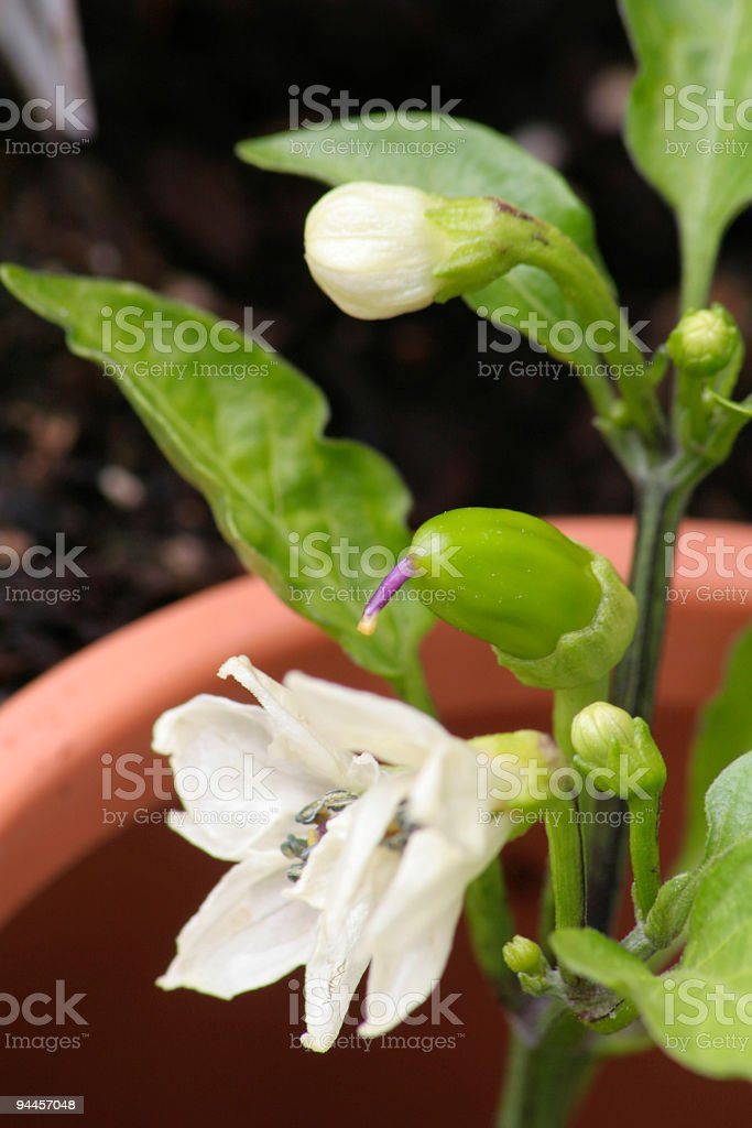 Pepper Plant Growth royalty-free stock photo