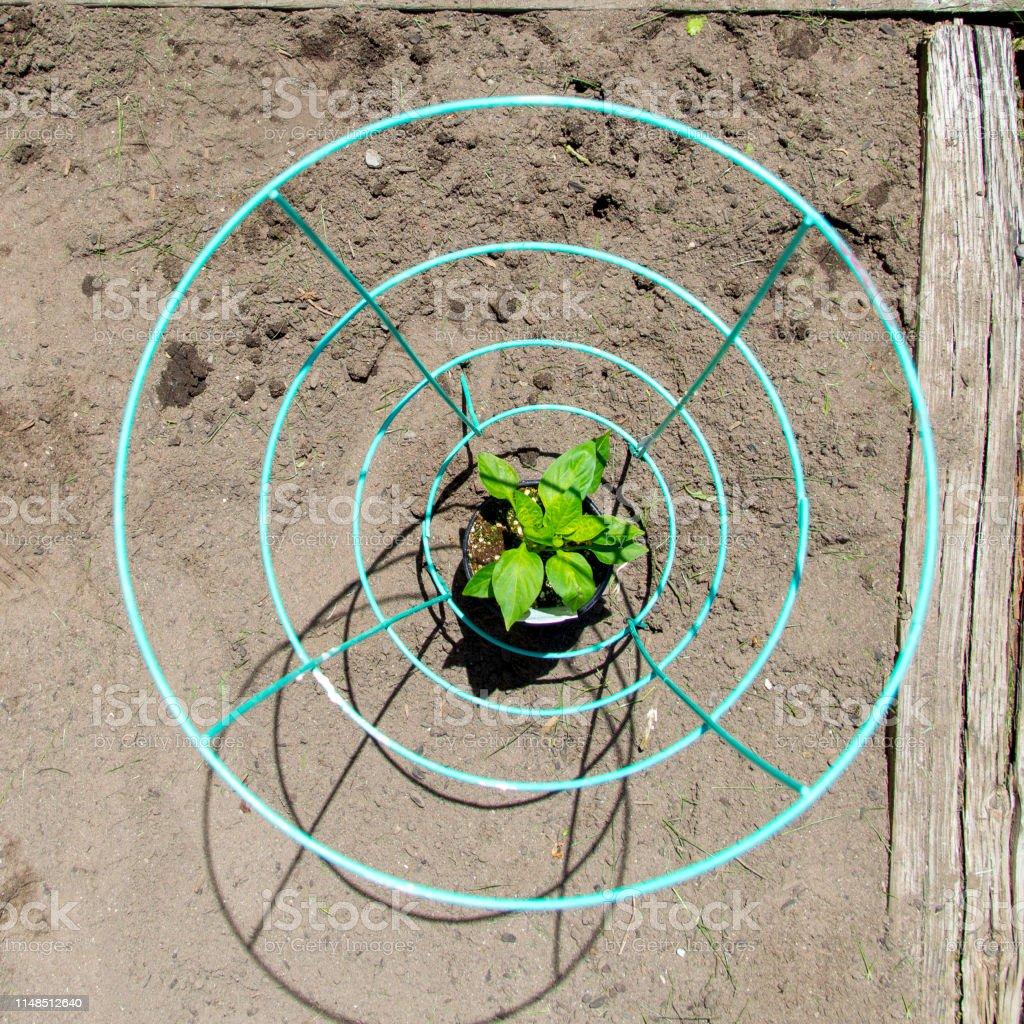 Photo libre de droit de Plante De Poivre Dans Un Jardin ...
