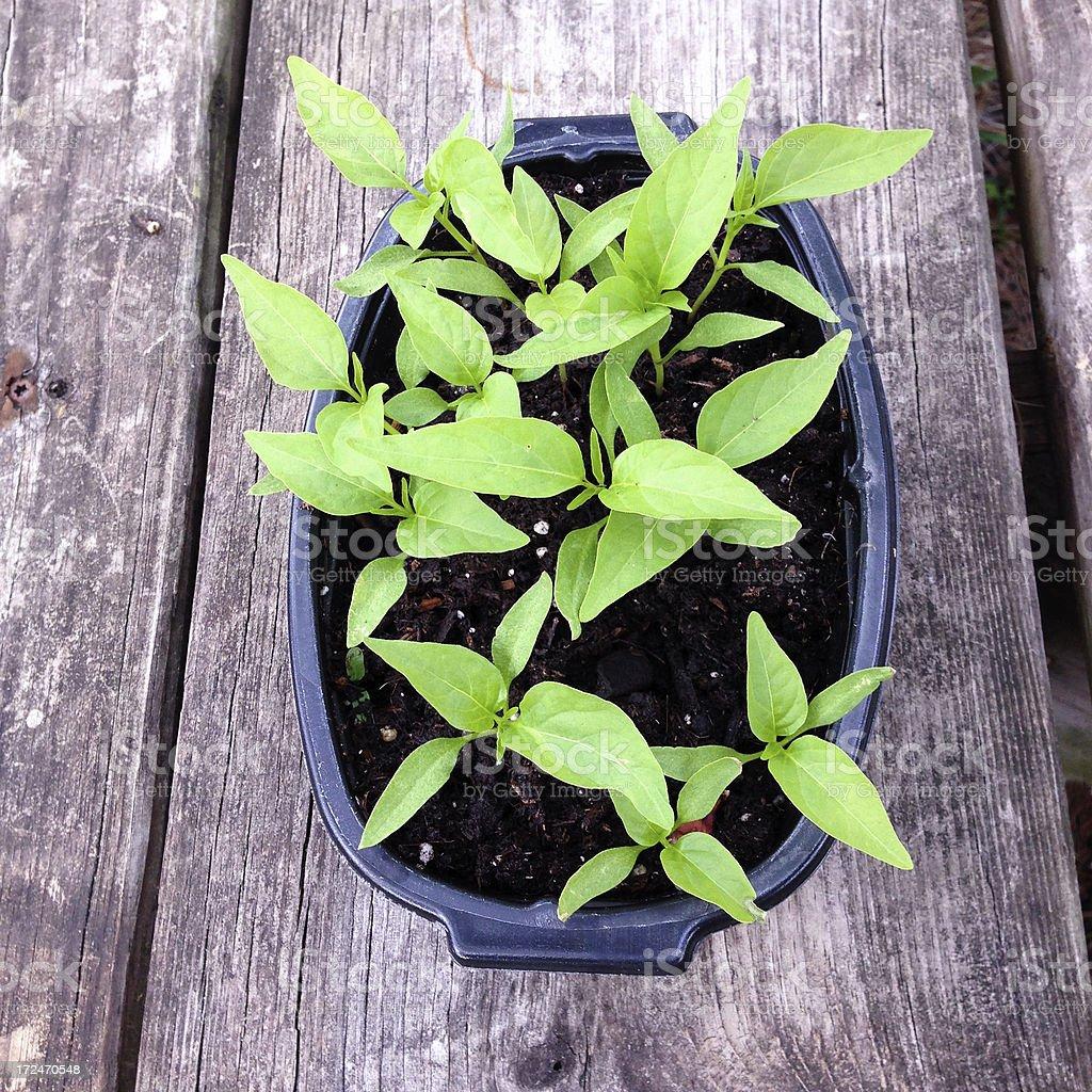 Pepper plant seedlings royalty-free stock photo