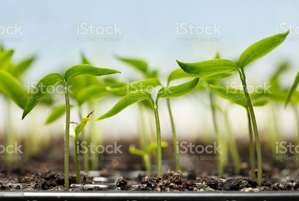 Pepper plantlets stock photo