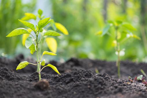 Planta pimiento