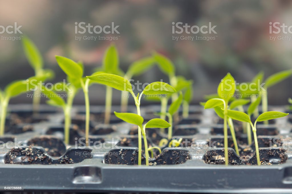 Pepper seedling transplants growing stock photo