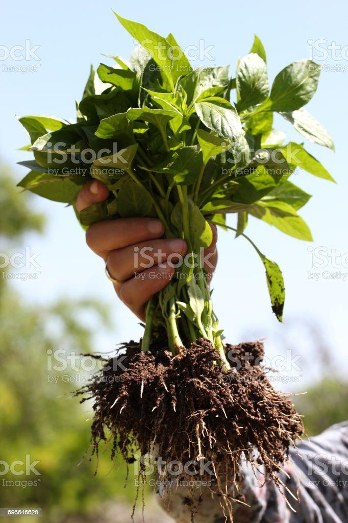 Pepper seedlings stock photo