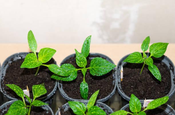 Pfeffersprossen mit Wassertropfen auf Blättern. Spring Seedlings von Bell Pepper in Töpfen. Junge Triebe von Paprika aus Samen zu Hause gewachsen – Foto