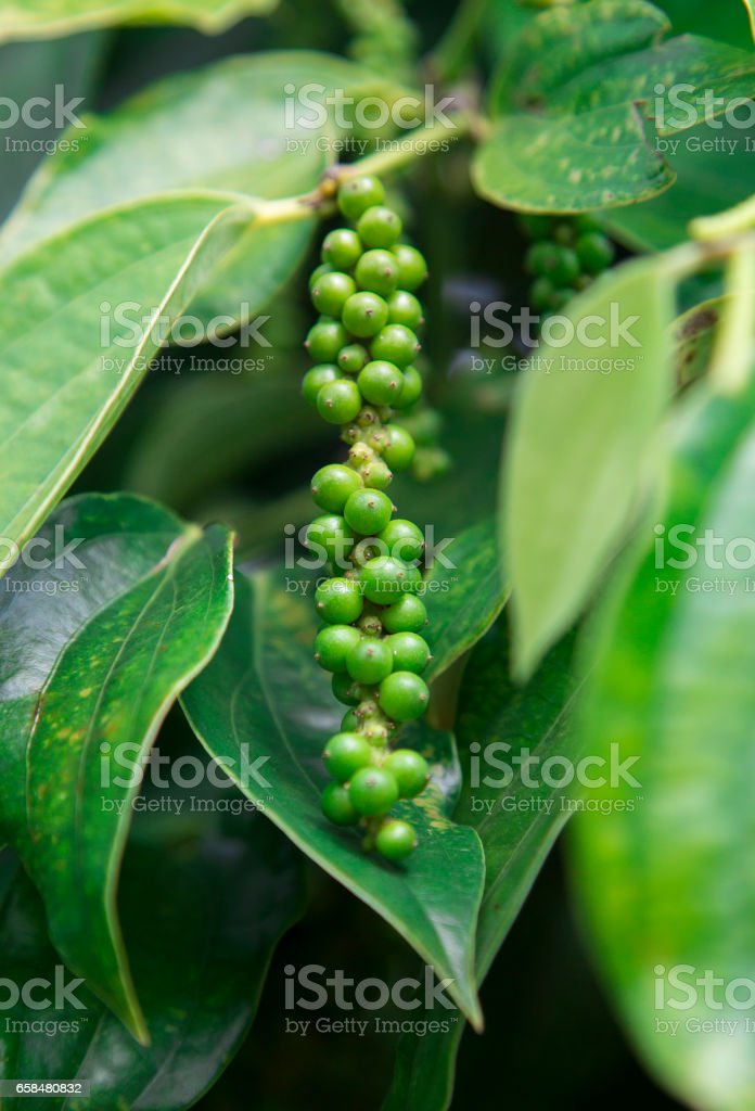Pepper tree garden in the sunlight on Phu Quoc island, Vietnam stock photo