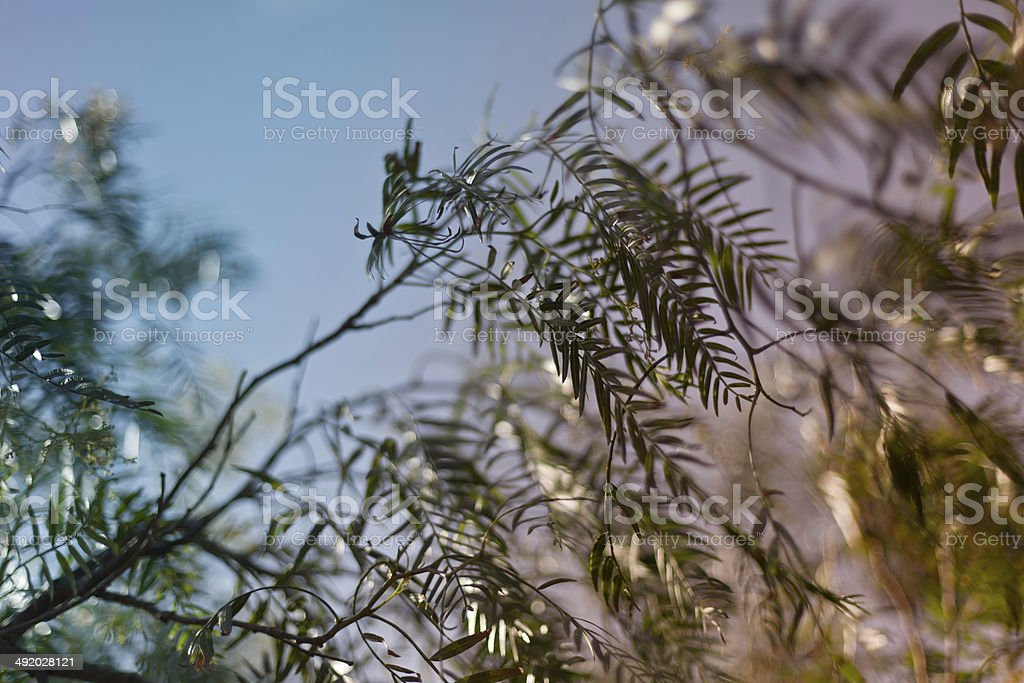 Pepper Tree Leaves royalty-free stock photo