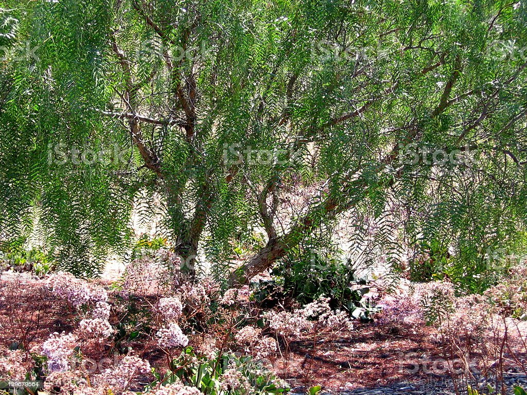 Pepper Tree royalty-free stock photo