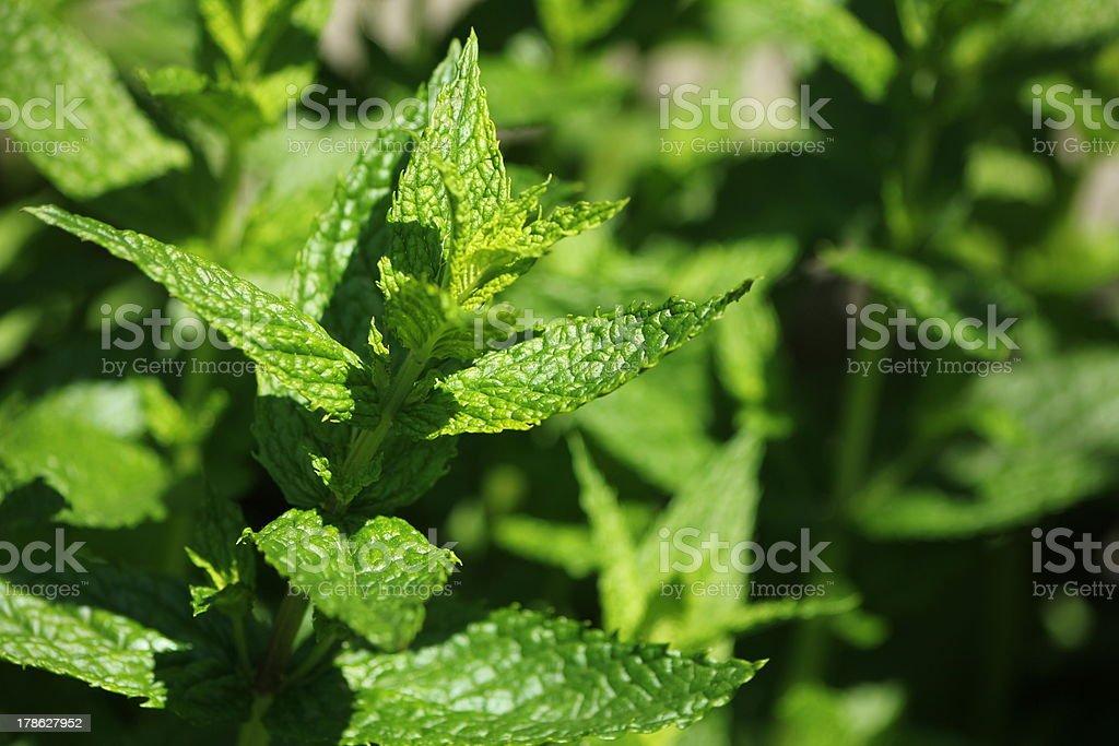 Peppermint, Fresh Mint, Bio Gardening royalty-free stock photo