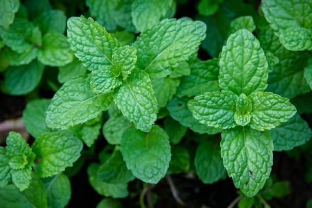nane ot ya da sebze bahçesinde bitki, taze kokusu ayıklamak için bir ot gibi pişirme kullanışlıdır. - i̇ngiliz nanesi stok fotoğraflar ve resimler