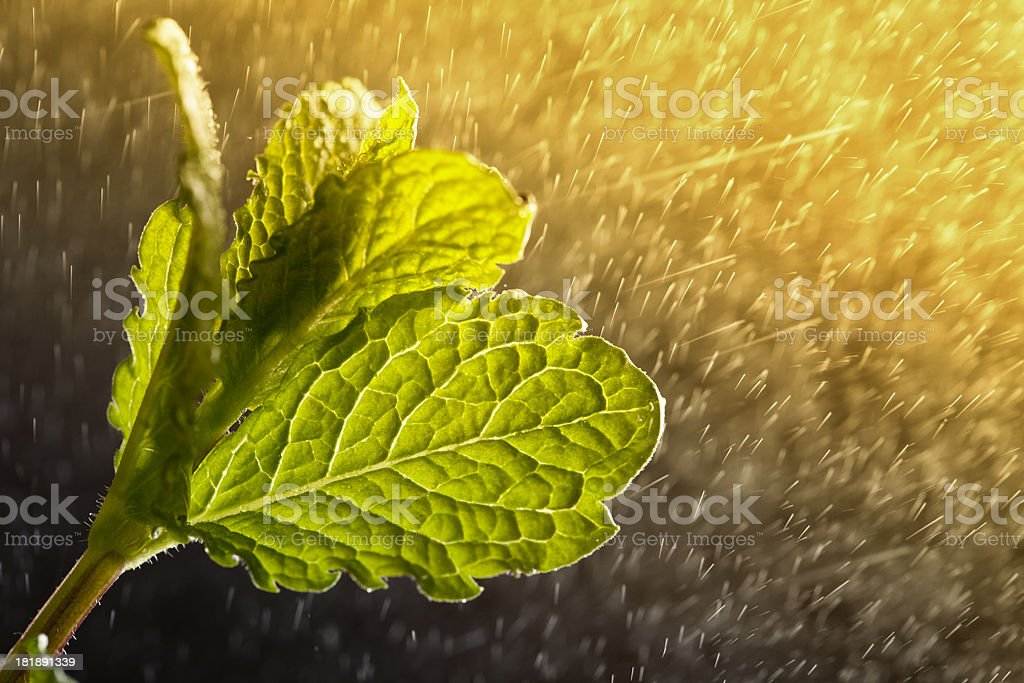 peppermint leaves and water drops royalty-free stock photo